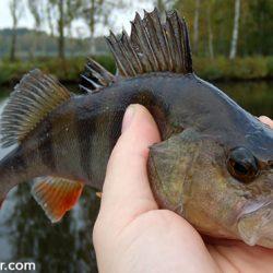 baars-vissen-beste-stekken
